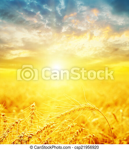 good sunset and golden harvest - csp21956920