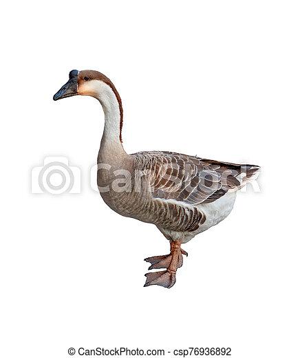 Goose isolated on white background - csp76936892