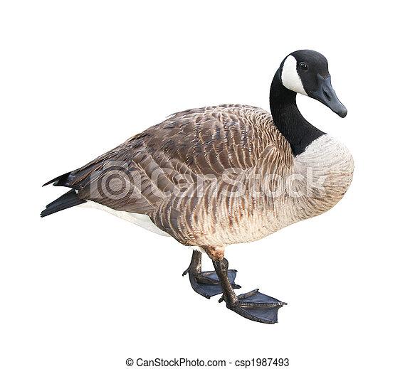 Goose - csp1987493