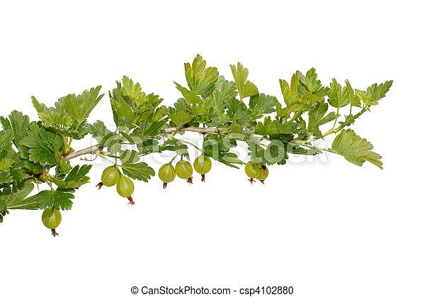 gooseberry on a branch - csp4102880