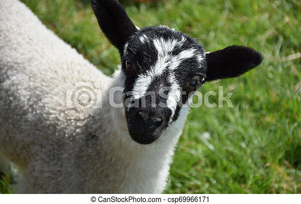 Gorgeous Black and White Speckled Young Lamb - csp69966171