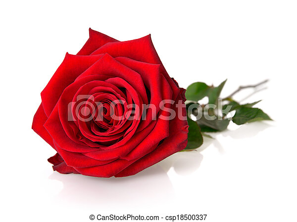 Gorgeous red rose on white - csp18500337