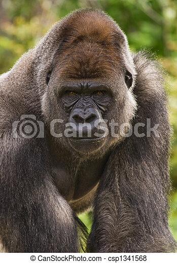 Gorilla - csp1341568