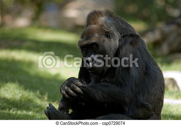 gorilla, sitzen - csp0729074