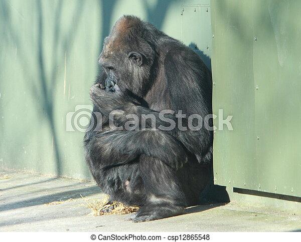 gorilla, sitzen - csp12865548