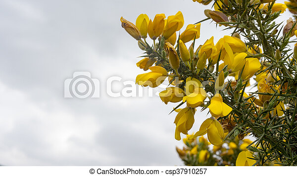 Gorse flowers grow from the spiky green stems the yellow flower of gorse flowers grow from the spiky green stems csp37910257 mightylinksfo
