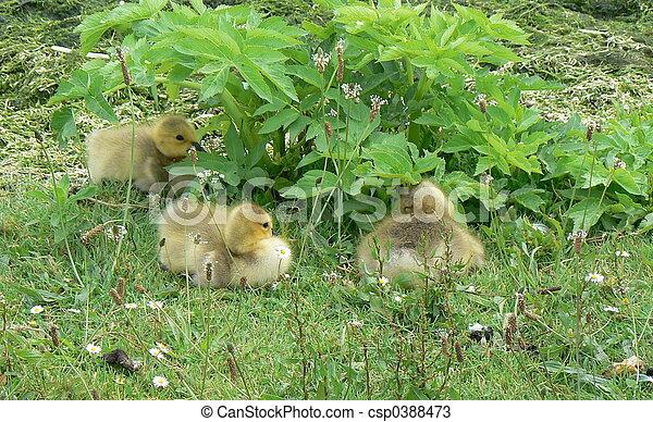 goslings - csp0388473