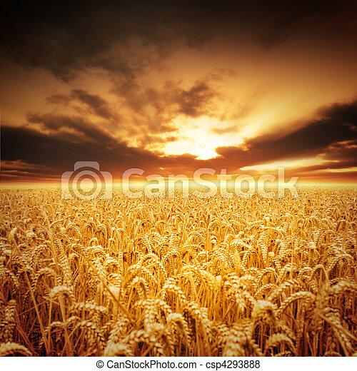 gouden, velden - csp4293888