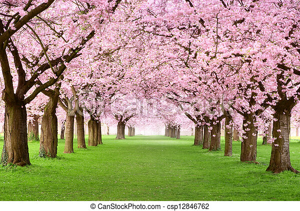 Gourgeous cherry trees in full blossom - csp12846762