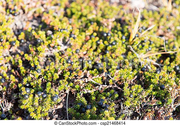 grönland, busch, schwarz, empetrum, wild, crowberries, nigrum - csp21468414