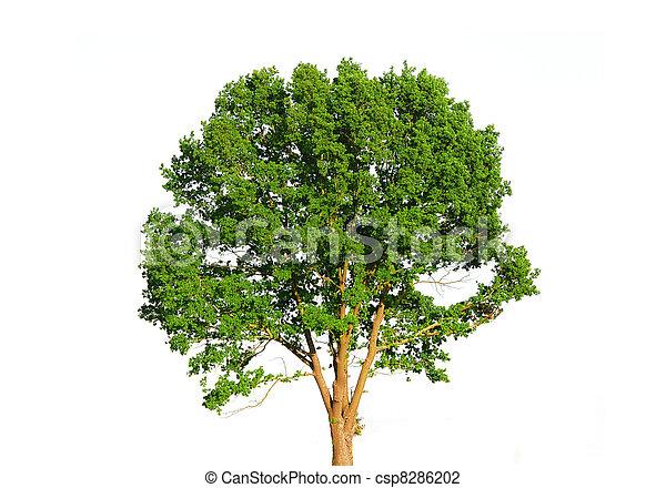 grün weiß, baum, freigestellt - csp8286202