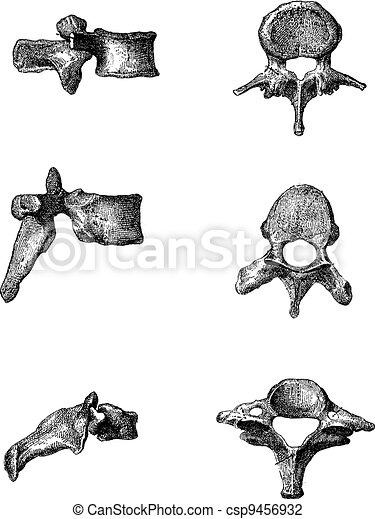Grabado, vendimia, humano, vértebras. Fleury, (bottom), humano ...