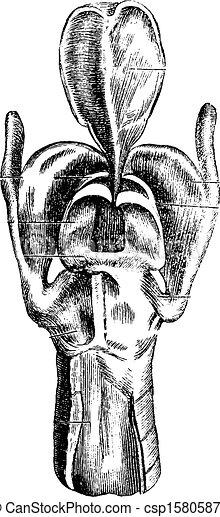 Vista posterior de la laringe, grabado antiguo - csp15805879
