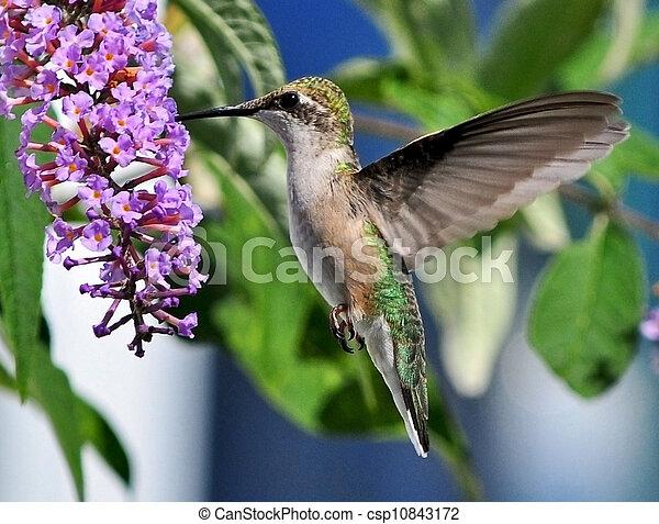 Graceful Hummingbird - csp10843172