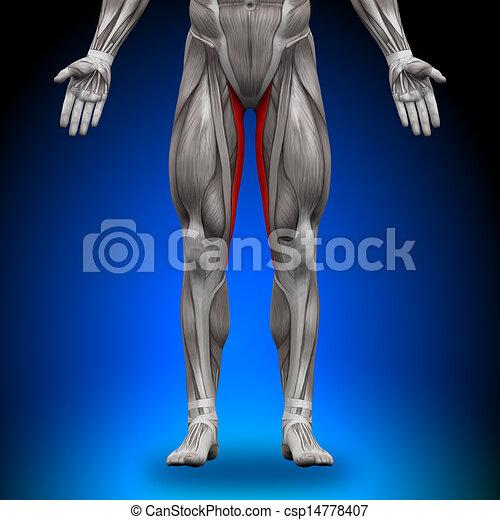 Gracilis - anatomy muscles.