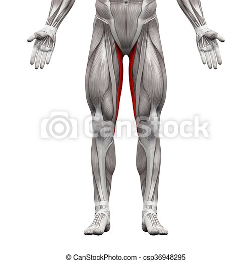 Gracilis muscle - anatomy muscles isolated on white - 3d illustration.