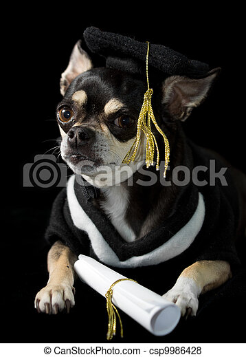 Graduation Dog Cute Chihuahua In Cap And Gown For Graduation On