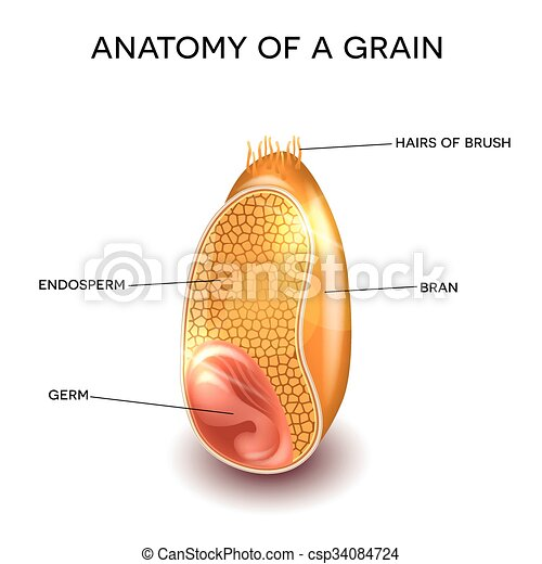 Grain anatomy - csp34084724