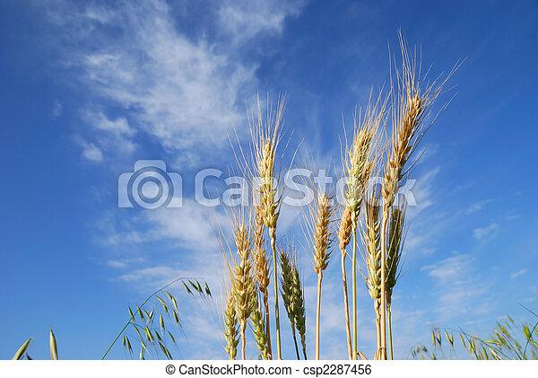 Grain ears - csp2287456
