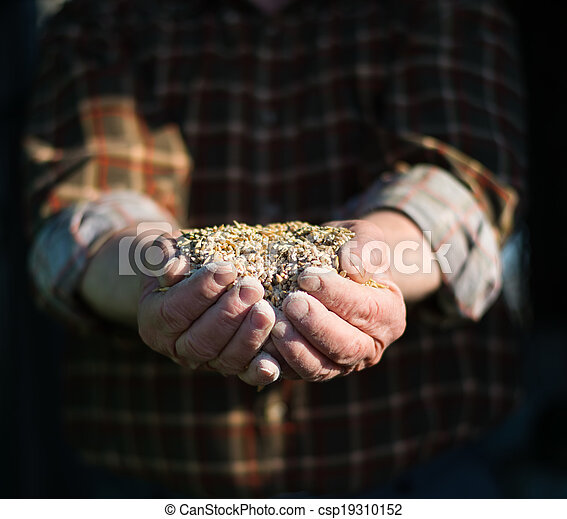 Grain in the hands of - csp19310152