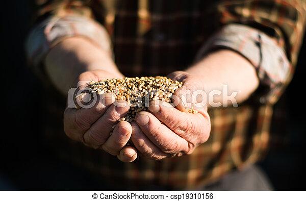 Grain in the hands of - csp19310156