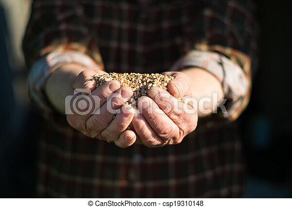 Grain in the hands of - csp19310148