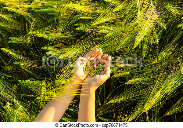 Grain of the wheat in hands of the kid - csp70671475