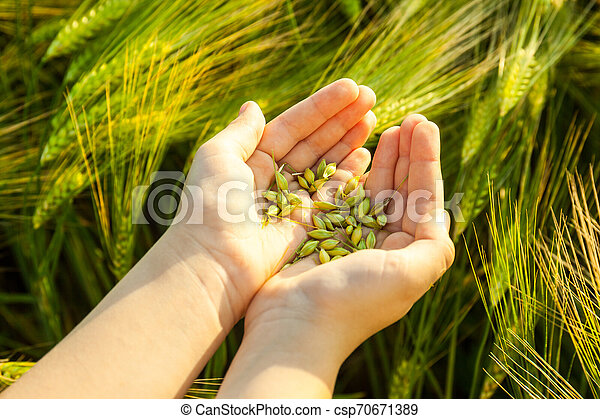 Grain of the wheat in hands of the kid - csp70671389