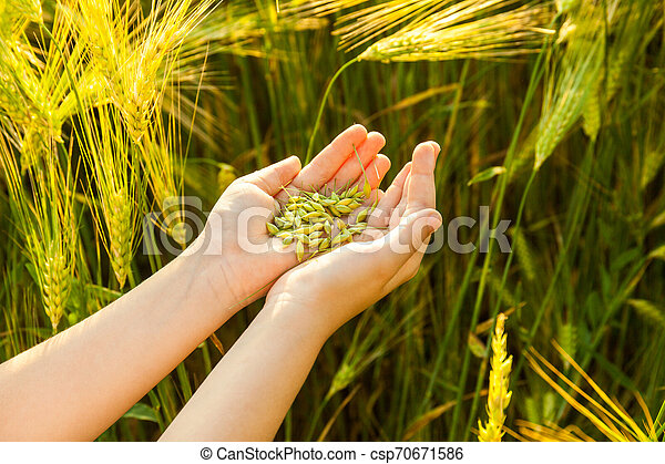 Grain of the wheat in hands of the kid - csp70671586