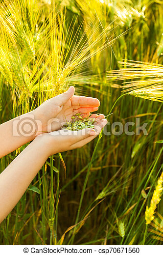 Grain of the wheat in hands of the kid - csp70671560