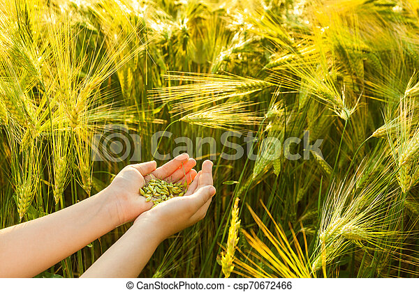 Grain of the wheat in hands of the kid - csp70672466