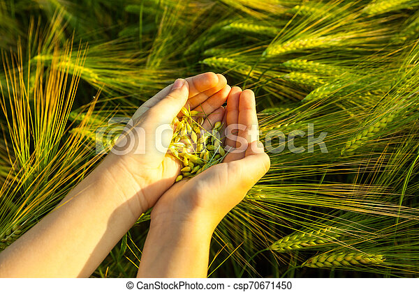 Grain of the wheat in hands of the kid - csp70671450