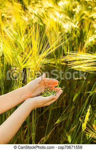 Grain of the wheat in hands of the kid - csp70671559