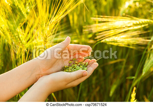 Grain of the wheat in hands of the kid - csp70671524