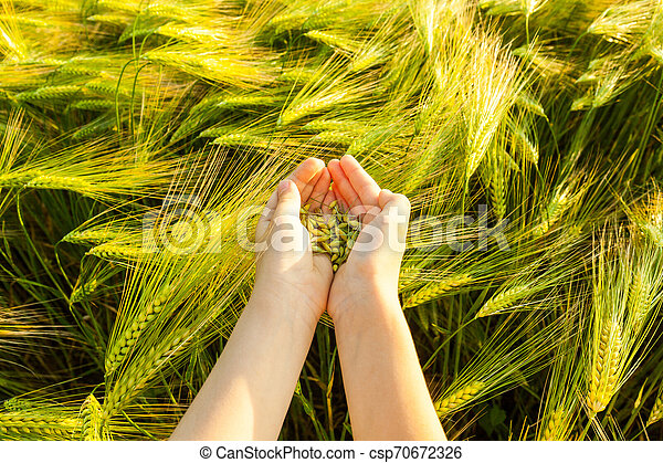Grain of the wheat in hands of the kid - csp70672326