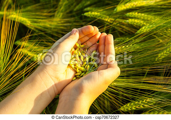 Grain of the wheat in hands of the kid - csp70672327
