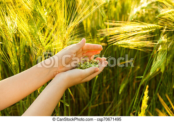 Grain of the wheat in hands of the kid - csp70671495
