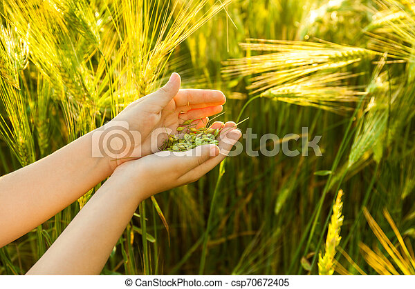 Grain of the wheat in hands of the kid - csp70672405