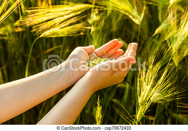 Grain of the wheat in hands of the kid - csp70672433