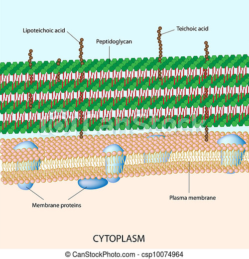 Gram positive bacterial cell wall - csp10074964