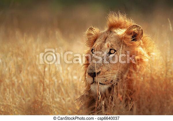 gramado, leão - csp6640037