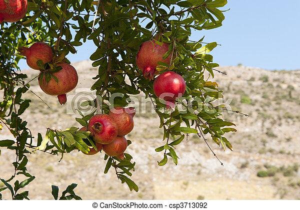 Granat, drzewo. Dojrzały, prawie, granat, owoc drzewa, wisząc.