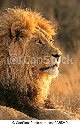 grande, leão, macho - csp0285240