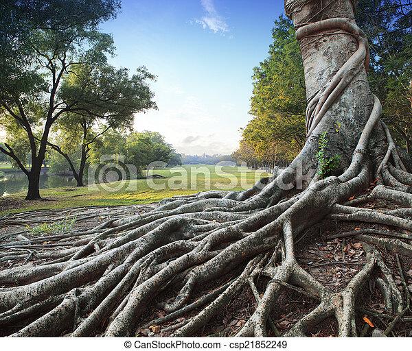 grande, parque, árvore verde, raiz - csp21852249