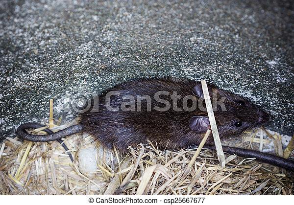 Rata marrón grande - csp25667677