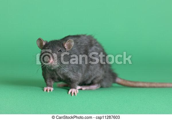 Gran rata negra doméstica - csp11287603