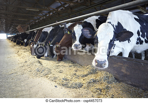 granja, agricultura, vaca de la leche, bovino - csp4457073