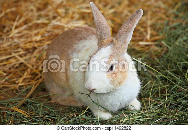 Conejo en la granja - csp11492822