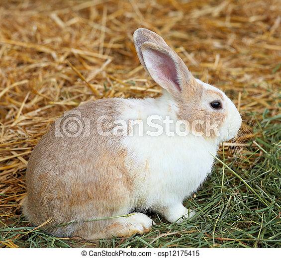 Conejo en la granja - csp12175415