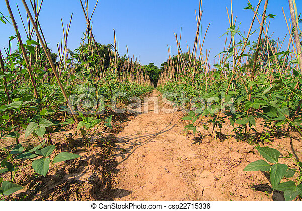 Granja de frijoles largos - csp22715336